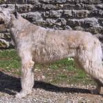 Araberara Nedra, irish wolfhound