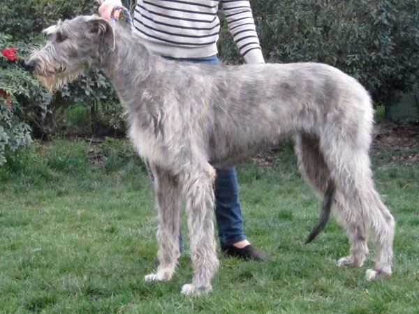 Araberara Queserà, irish wolfhound
